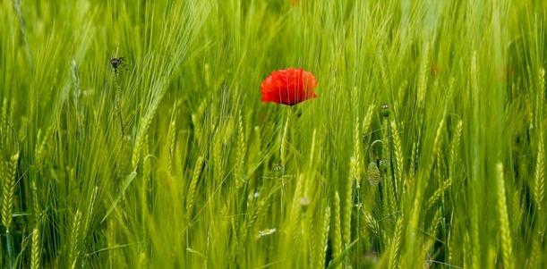 poppy-353699_640