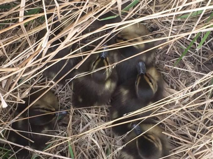 Duckings 1